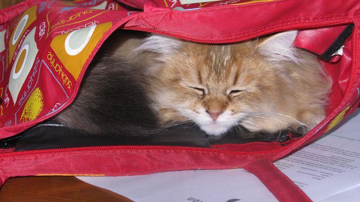 Amon, de langharige Britse Korthaar, slapend in een tas