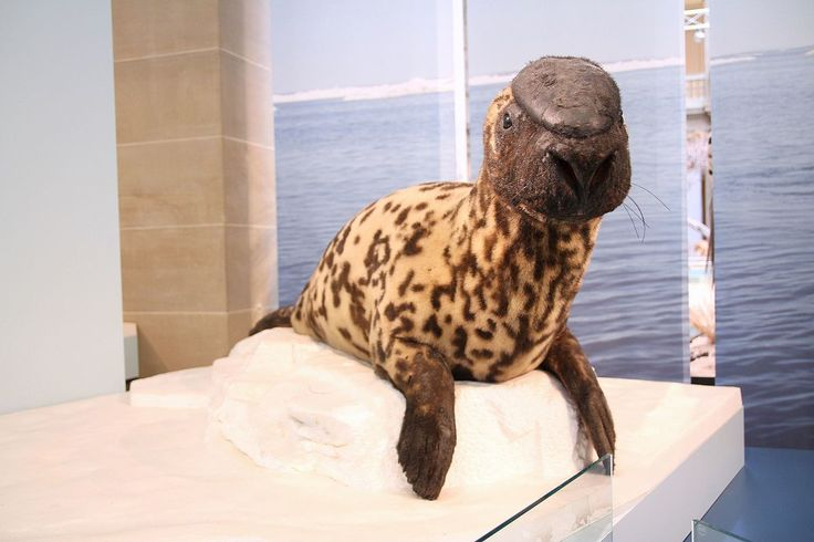 """Earless Seals (Phocidae Family - True Seals) Example #1: Hooded Seal(Cystophora cristata).   (""""Hooded seal - Wikipedia."""")    Google search: """"TheHooded Seal(Cystophora cristata) is a large Phocid found only in the central & westernNorth Atlantic. The seals are typically silver-grey in colour, with black spots that vary in size covering most of the body. Hooded Seal pups are known as """"blue-backs"""" because their coats are blue-grey on the back with whitish bellies. Wikipedia."""""""