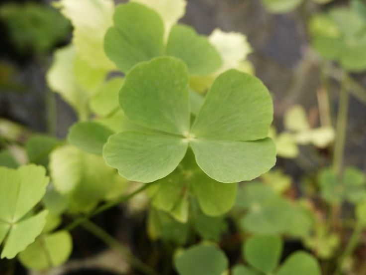 Marsilea quadrifolia  Four Leaf Clover foreground aquarium plants