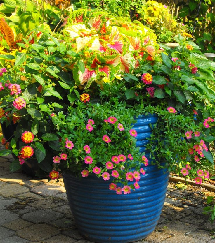 1056 best images about potted plants container plants on pinterest container plants fall - Container gardens for sun ...