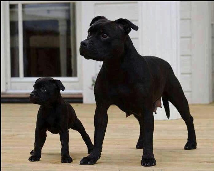 Two cute black pitbull puppies | Pitbulls, Boxers ...