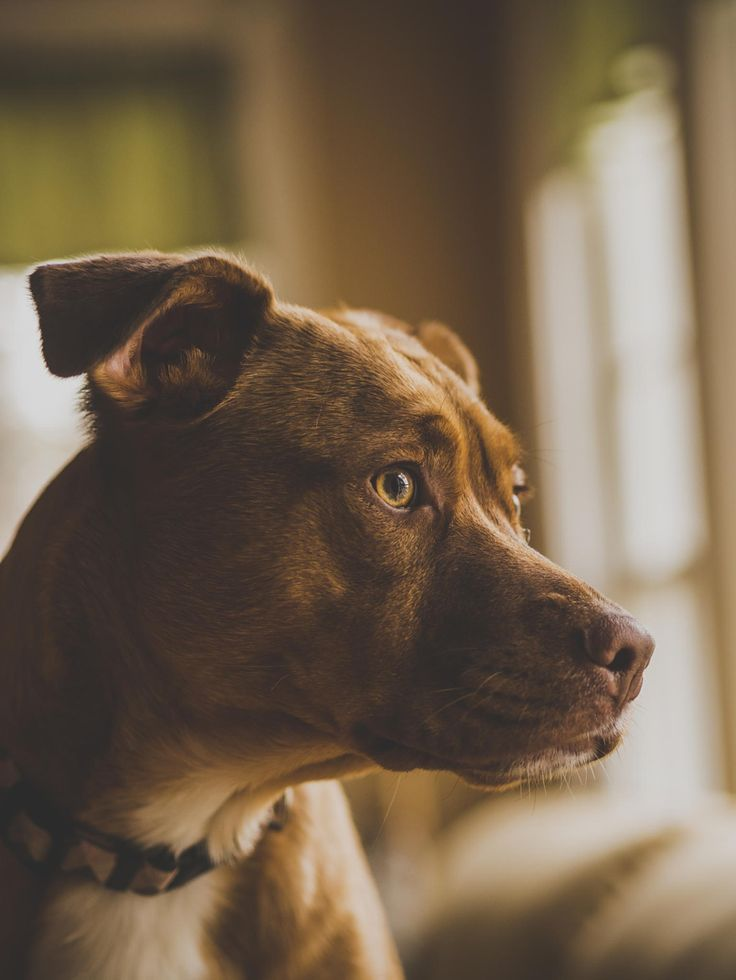 Waiting for you to come home - loving pitbull waiting for mom