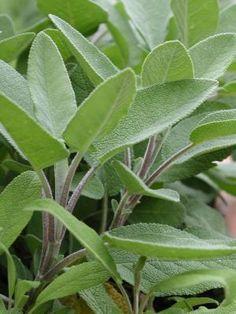 Salbei ist eine wertvolle Heilpflanze. Er hilft insbesondere bei Halsschmerzen und jeglichen Entzündungen des Rachenraums. Darüber hinaus wirkt er schweißhemmend, was bei übermäßigem Schwitzen helf...