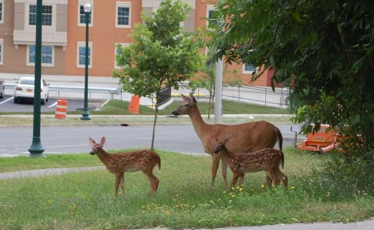 The deer are coming! The deer are coming! Sandra DiNoto found this group ? could it be a family outing? ? wandering around the streets of Troy one morning while running errands last week near the EMPAC concert hall. Funny thing is, within a couple of days she saw the same thing ? a deer family ? in the four corners in Delmar where she lives. (Sandra DiNoto)