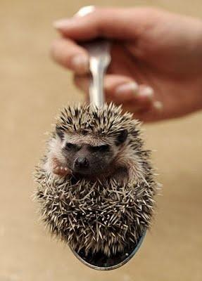My next pet! African Pygmy Hedgehog.