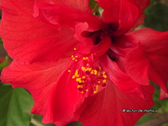 beautiful chinese rose