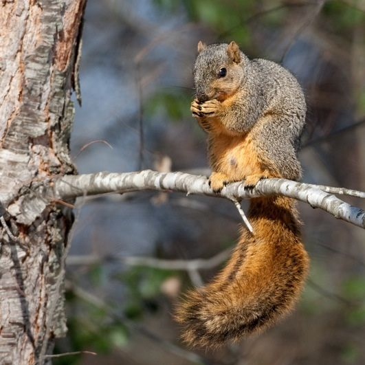Best Squirrel Hunting Tips :http://www.trailcameraexpert.com/best-squirrel-hunting-tips/