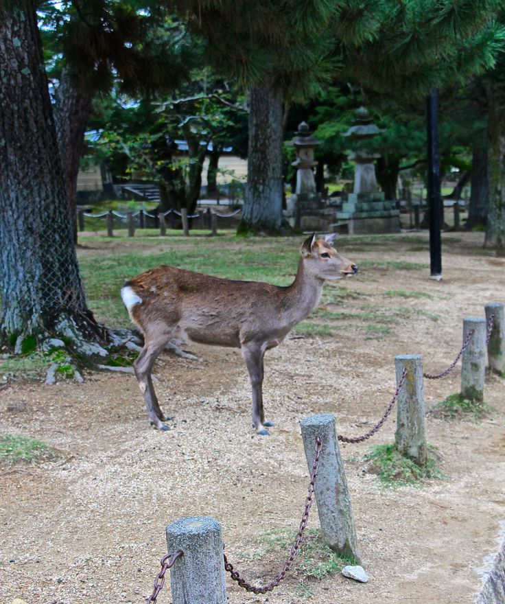 lovely deers in Nara Park, Nara Japan
