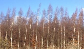 An autumnal shot of the silver birch woodland, adjacent to Red Bird Farm.