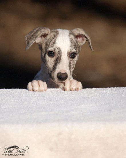 Baby whippet (do it Sophie)