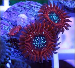 ULTRA RARE MAGICIANS ZOAS 1 polp genuine US import coral frag marine fish tank