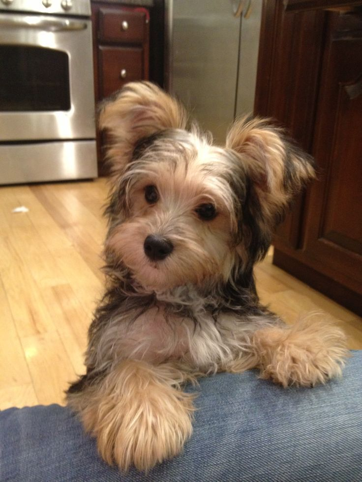 Image result for morkie puppies Morkie puppies Morkie