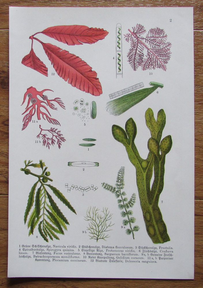 Botanischer Druck - Pflanzen Botanik Druck Atlas des Pflanzenreichs 2 ca. 1920