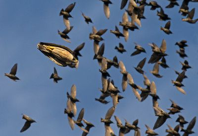 Adult peregrine falcon chasing starlings by Rob Palmer