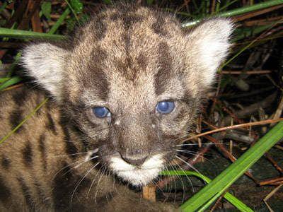 Florida panther kitten - Puma concolor coryi