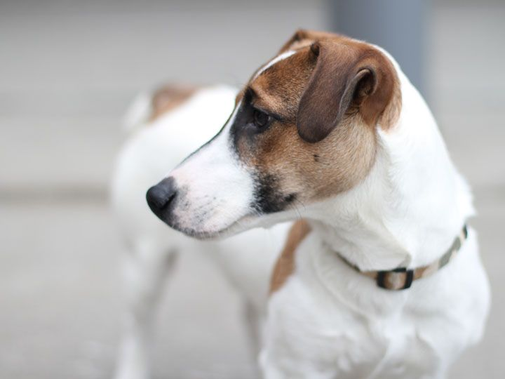 Jack russell terrier - dog breed info center®, dbi, The jack russell is a…