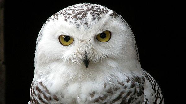 sovice sněžná - Mohutná sova velikosti téměř výra velkého