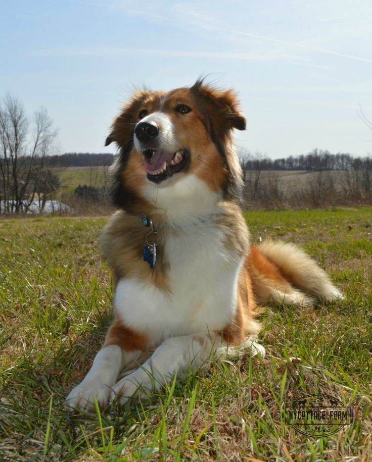 Hycottage Farm's Willow in 2020 Herding dogs breeds