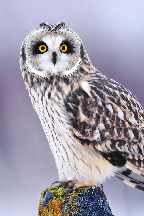 """Owl ღ """"The owl is sacred to the Greek goddess of learning, Athena and is even depicted on some Greco-Roman currency as a symbol of status, intelligence and of course, wealth."""""""