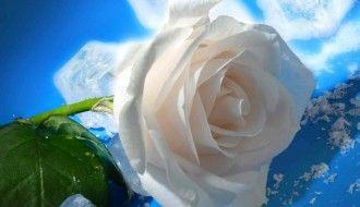 White Rose Flower Wallpaper