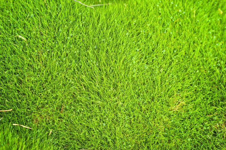 Are you looking for a hardy, droughtresistant lawn that requires little or no maintenance? Then perhaps you would like to try growing Zoysia grass rather than traditional lawn grass. Read here for more info.