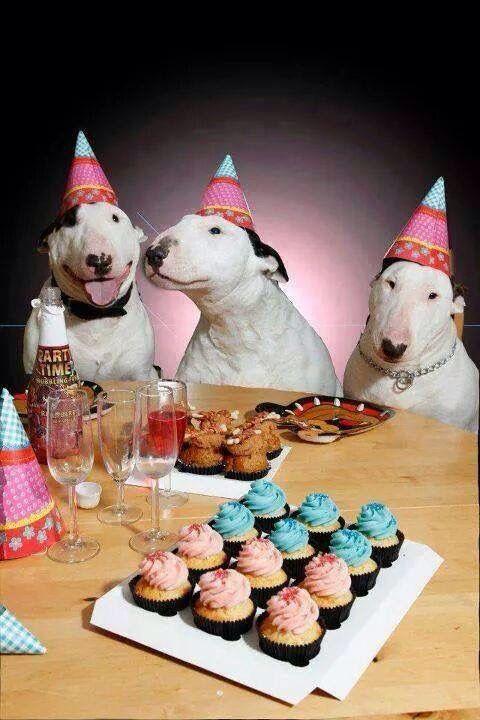 Birthday  #bullterrier #birthday