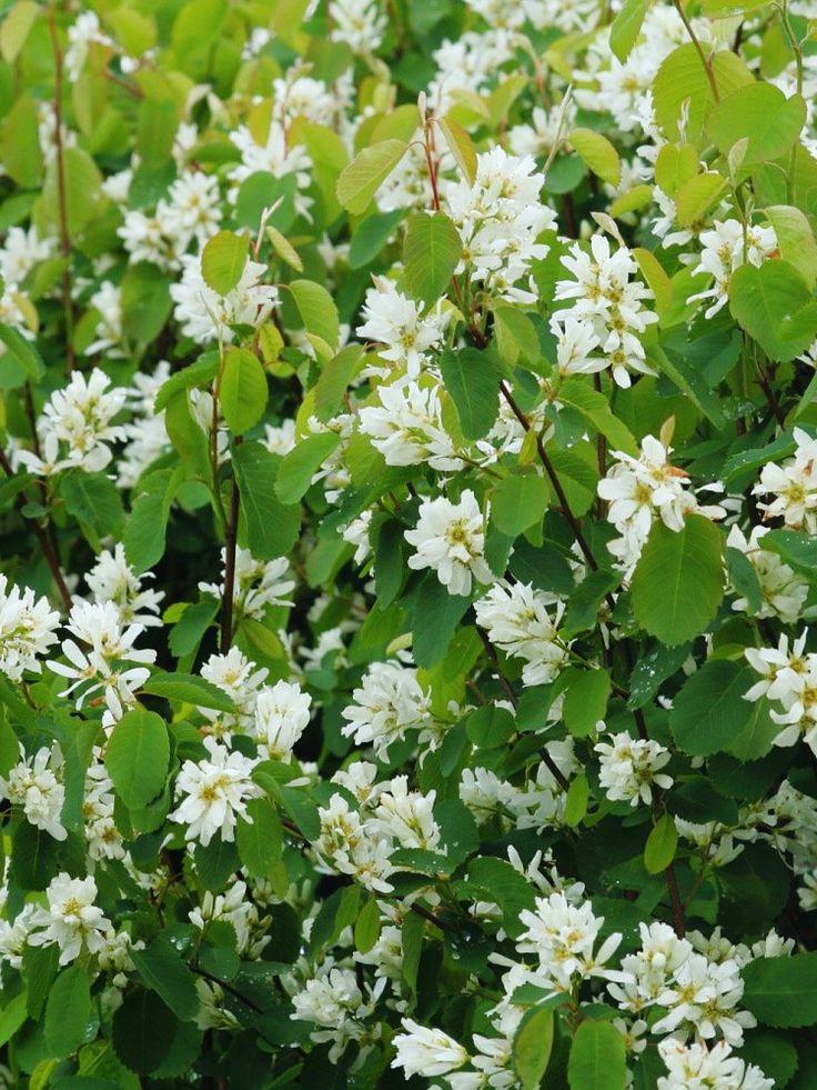 Bärhäggmispel, Amelanchier alnifolia fk. Alvdal E, blommar med vita blommor under maj.