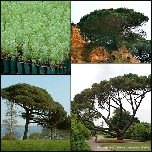 17 best images about pinus pinea y niscalo on pinterest shops home and shrubs. Black Bedroom Furniture Sets. Home Design Ideas