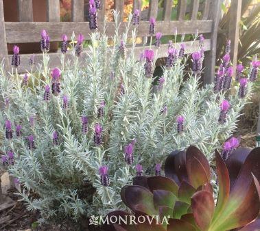 Monroviau0027s Silver Anouk Spanish Lavender