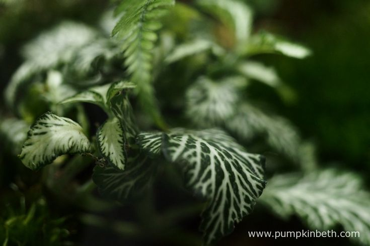A close up of the Fittonia inside my BiOrbAir terrarium as pictured on the 1st January 2016, with the Polystichum arching over.