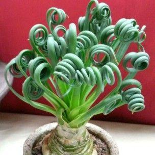 Albuca spiralis (Plante spirale rare) Plant