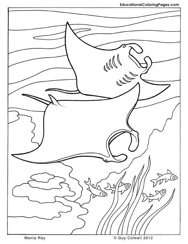 1000  ideas about manta ray on pinterest