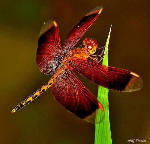 Dragonfly ~ An example of red and orange in nature.