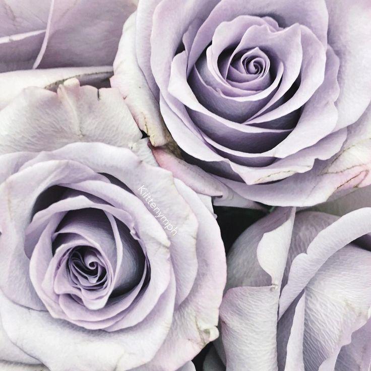 Fialové růže 💜