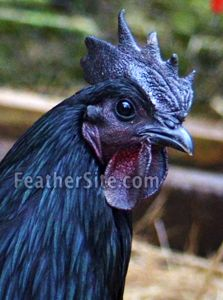 Ayam Cemani -- unusual breed; very beautiful. and expensive