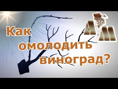 (24) Как восстановить запущенный куст винограда? - YouTube