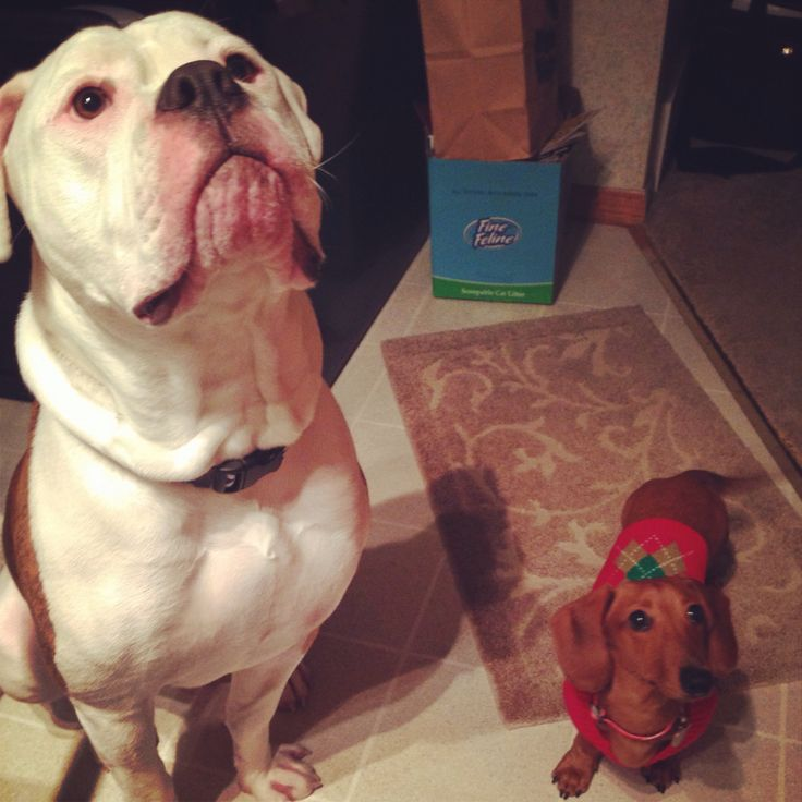 17 Best Images About Dogs On Pinterest Pets Dapple