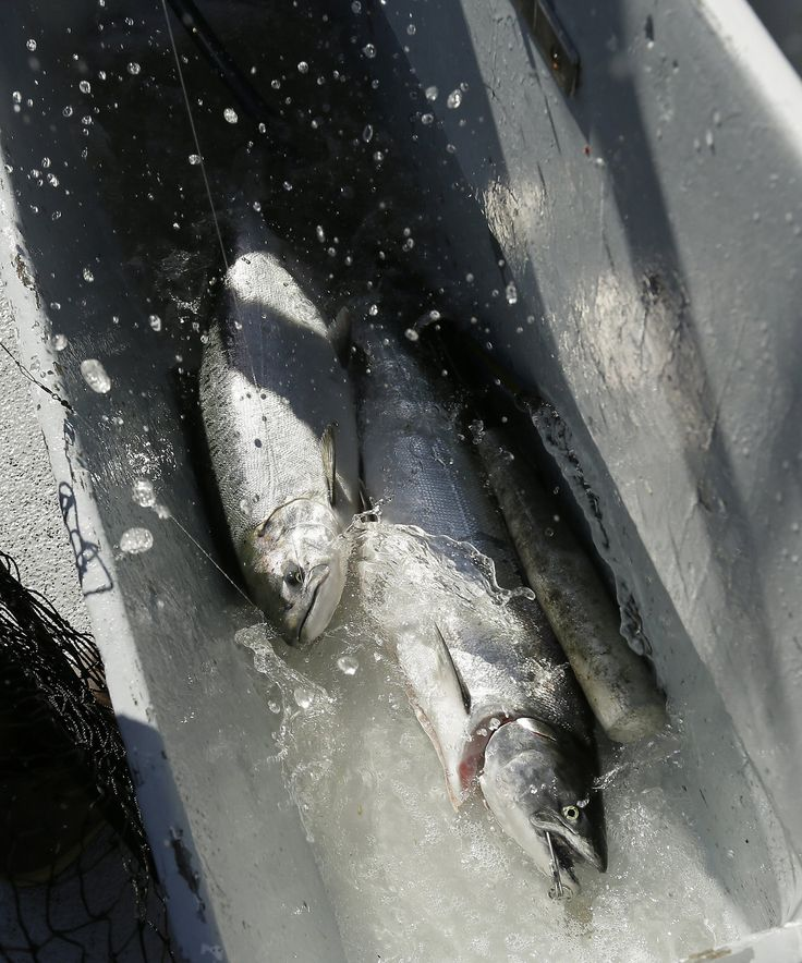 Report: Nearly half of California salmon species on track for extinction - SFGate