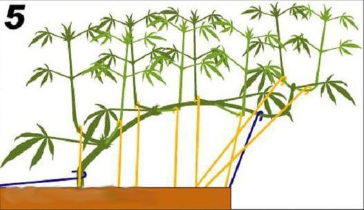 how to get the best yield from cannabis plants