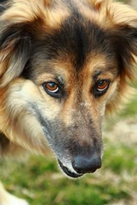 Resembles our late boarder collie/german shepherd mix