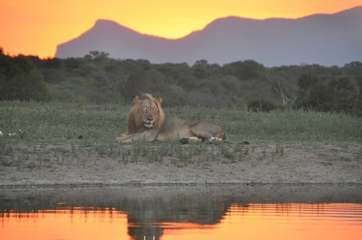 http://blog.responsibletravel.com/wandering-lion-leads-to-trouble/#