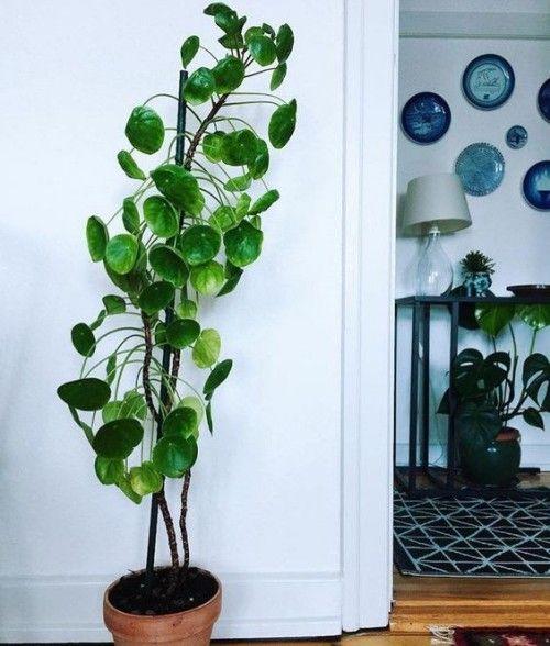 Die neue Trendpflanze: Pilea peperomioides