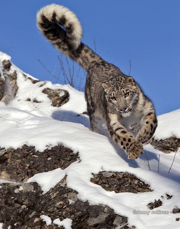 The Beauty of Wildlife - notice how the snow leopard uses his/ her tail for balance in the snow.