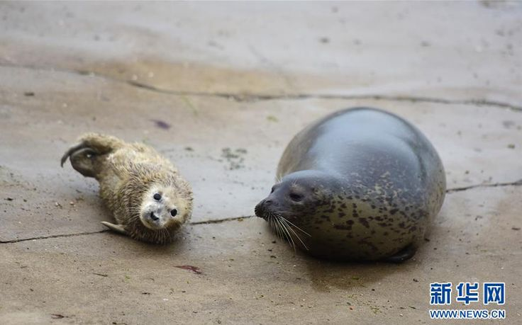 Meet spotted seal family in E China  Newborn spotted seal cubs met the public, with their parents keeping a watchful eye, at a seal bay in Yantai City, east China's Shandong Province on March 1. The three seal cubs, born in the first month of the Chinese lunar calendar, are in good health.