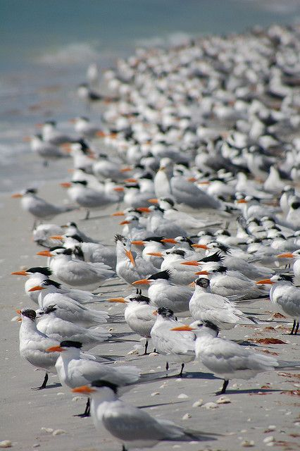Hundreds of terns in non-breeding plumage gather on the beaches of Sanibel Island, Florida, US