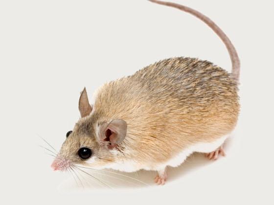Mysz kolczasta:  kakadu.pl/Gryzonie/mysz-kolczasta.html