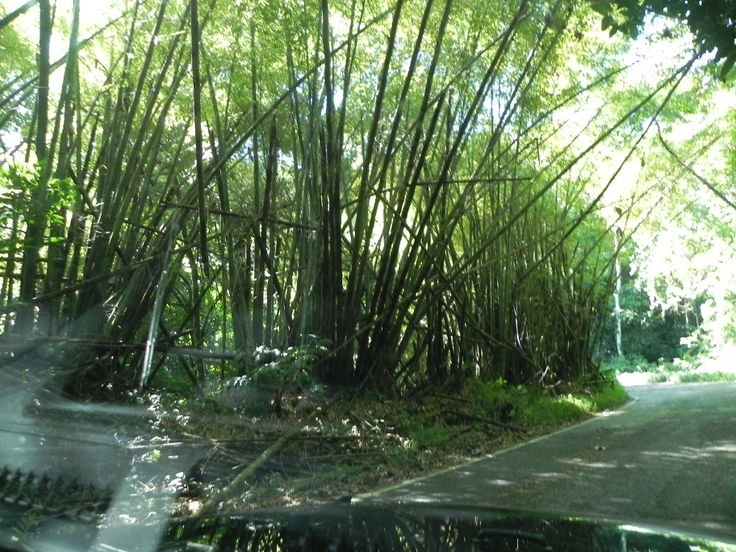 Bamboo can be found all over Pureto Rico