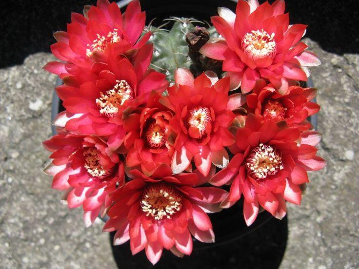 Risultati immagini per piante grasse fiorite piante - Piante fiorite ...