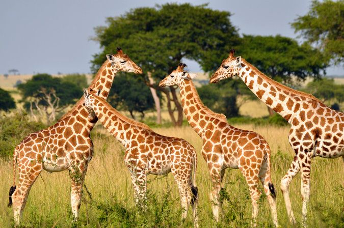 Our Understanding of Giraffes Does Not Measure Up - The New York Times