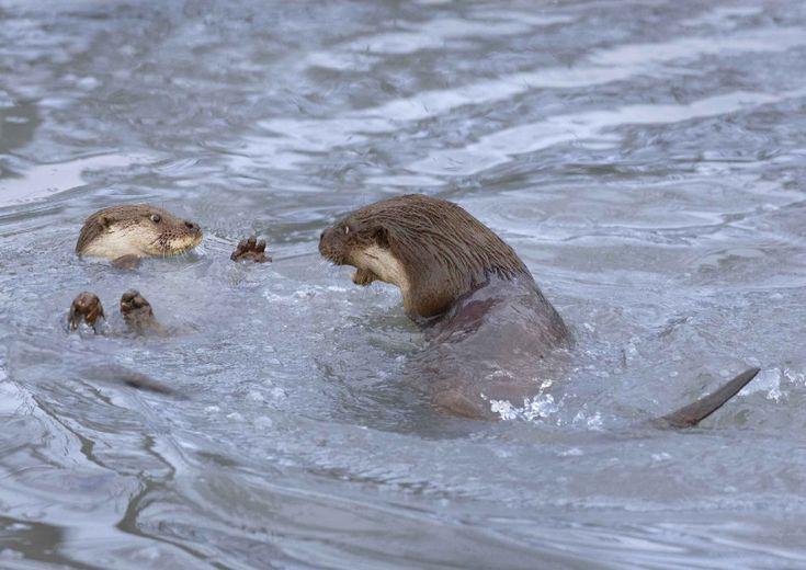 Solitarie, notturne ma anche giocose come in questi scatti di Sue Edwards. La fotografa britannica ha assistito a una lotta in acqua tra mamma lontra e il suo cucciolo. Tra morsi, spintoni e aggressioni a pelo d'acqua, i due animali hanno dato spettacolo nel British Wildlife Centre di Lingfield, in